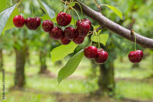 Montage in der Fensternische Kirschblüte isolated red cherries on tree in cherry orchard