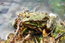 Green Frog Sitting In Shallow ...