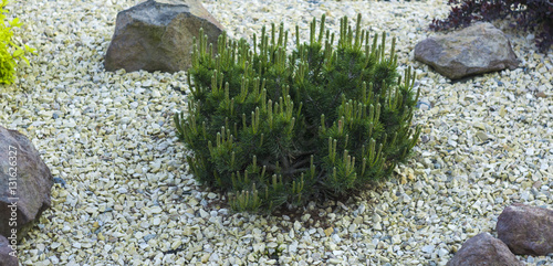 Mountain Pine In Rockeries On A Background Of White Marble Chips