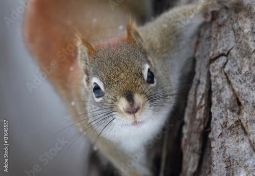 Tuinposter Eekhoorn petit écureuil