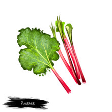 Rhubarb Rheum Rhabarbarum Leaves Isolated On White. Herbaceous Perennial Growing From Short, Thick Rhizomes. Large Poisonous Leaves With Long Fleshy Edible Stalks. Digital Art Watercolor Illustration