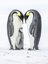 Emperor Penguins On The Frozen...