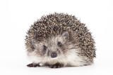hedgehog isolated - 131675145