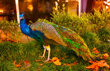 Beautiful Peacock In The Park