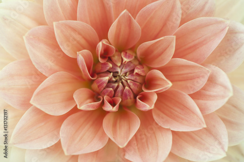 Poster de jardin Dahlia Light red Dahlia flower macro