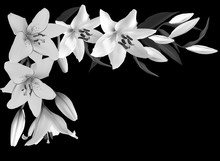 White And Grey Lily Flower Corner On Black
