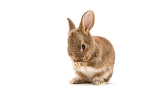 Isolated Image Of A Brown Baby Rabbit