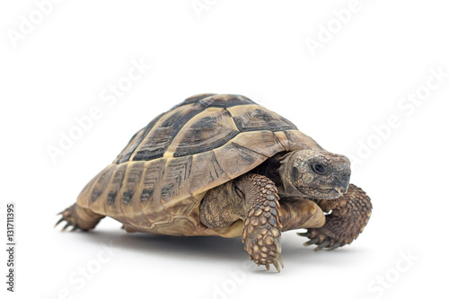Spoed Foto op Canvas Schildpad Isolated image of a turtle