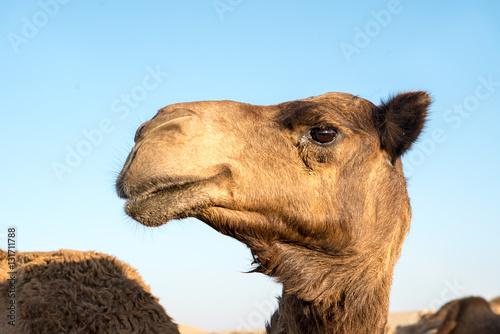 Spoed Foto op Canvas Kameel Camel face. camel head. Dromader face. dromader head. camel port