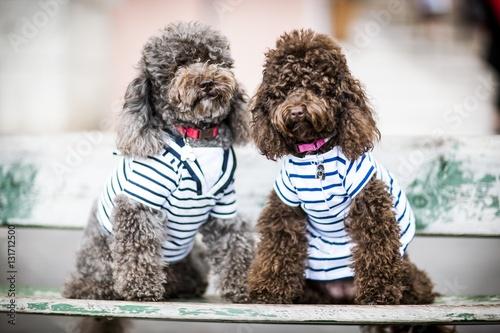 Valokuva Couple de caniche en marinière