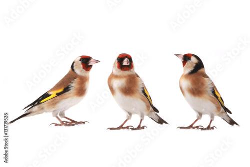 Fotografía goldfinch