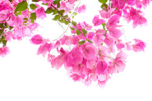 Pink Bougainvilleas On White Background Isolated.