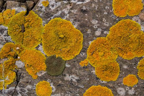 Fotografía  yellow lichen on a rock