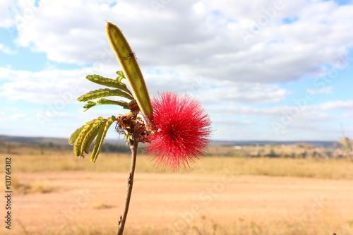 Photo Flower of the Cerrado