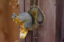 Fox Squirrel Standing On Corn ...