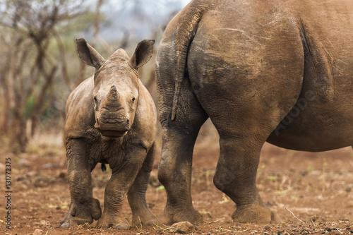 White rhino calf with adult, KwaZulu Natal, South Africa