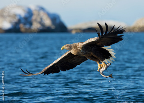 White-tailed sea Eagle (Haliaeetus albicilla), catching a fish, Norway.