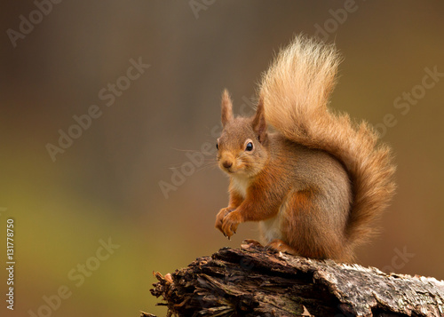 Red squirrel (Sciurus Vulgaris) sitting on a log in Yorkshire Dales, UK, England.