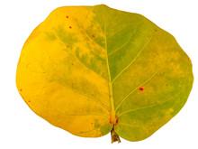 Feuille De Raisin De Mer, Coccoloba Uvifera, Plante Médicinale Tropicale, Fond Blanc