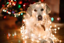 Christmas Labrador In Garland