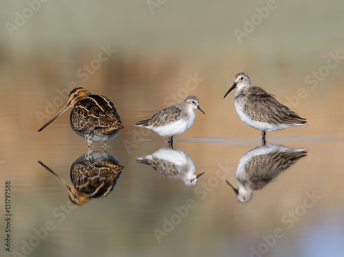 Fotografia  Common Snipe, Little Stint and Broad-billed Sandpiper Foraging in Early Morning