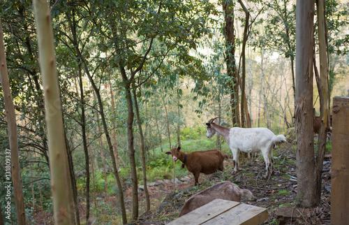Prevención de incendios por cabras pastando en bosque