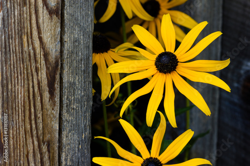 Fotografija  Black eye susan