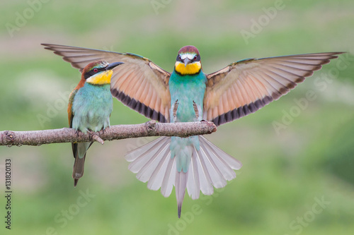 European bee-eater couple (Merops apiaster), Italy Wallpaper Mural