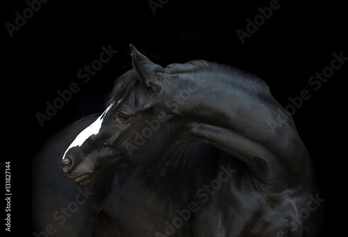 Poster de jardin Chevaux Portrait of the black horse with white line of his head on the black background