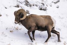 Bighorn Sheep In Winter Snow