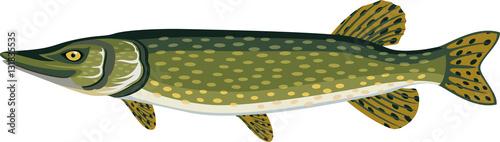 Fotografie, Obraz  vector Pike fish