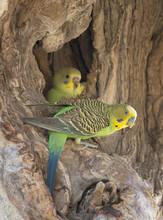 Budgerigars In Nest.