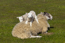 Sheep With Spring Lambs On Grass Meadow