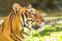 Close Up Of A Big Tiger Outdoor In Thailand, Asia. Side View.