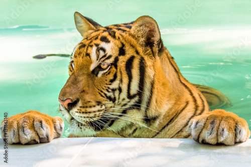 Fototapety, obrazy: Close up of a big tiger in the water in Thailand, Asia. Side view.