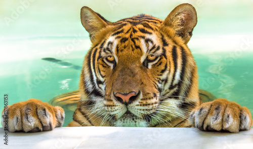 Photo sur Toile Tigre Close up of a big tiger in the water in Thailand, Asia.