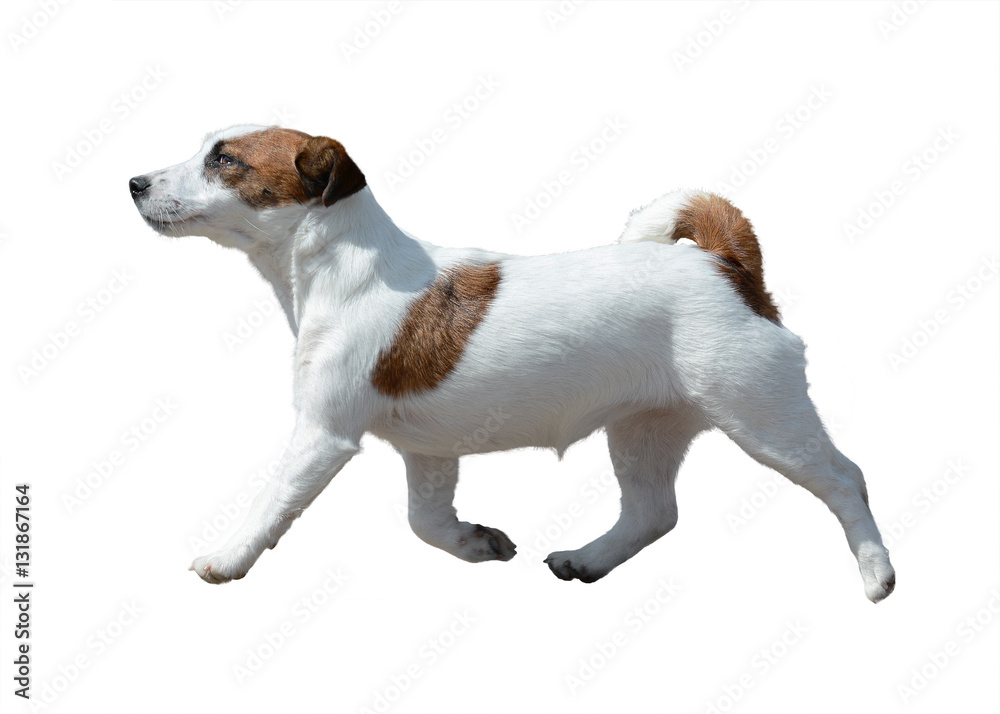 Fototapety, obrazy: Jack Russell Terrier  in motion isolated on white background