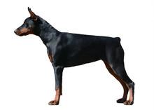 Doberman Dog  Stand Isolated O...
