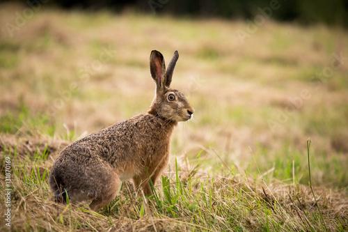 Stampa su Tela Wild hare in green grass