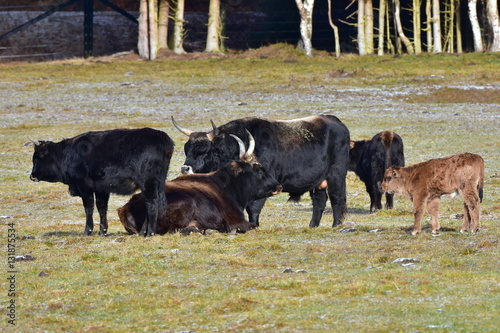 Photo  aurochs animal Bos primigenius