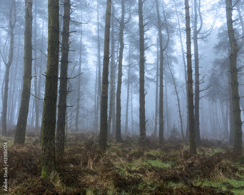 Papiers peints Forets Mysterious foggy forest with tall pine trees.
