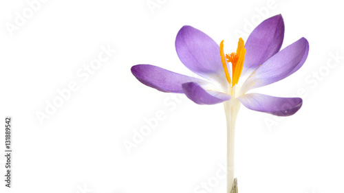 Printed kitchen splashbacks Crocuses Krokus isoliert