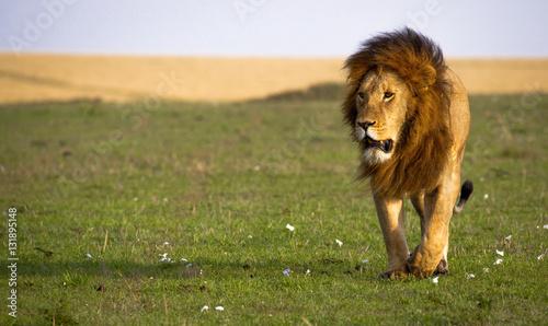 Photo  A powerful male lion walks across a flower strewn grass plain in Kenya's Masai M
