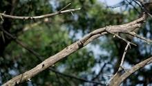 Red-bellied Woodpecker In Slow...