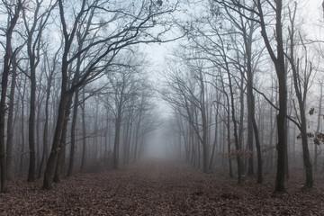 Fototapeta Forest in mysterious fog