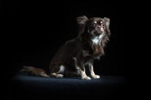Male Long-haired Chihuahua In Black Background