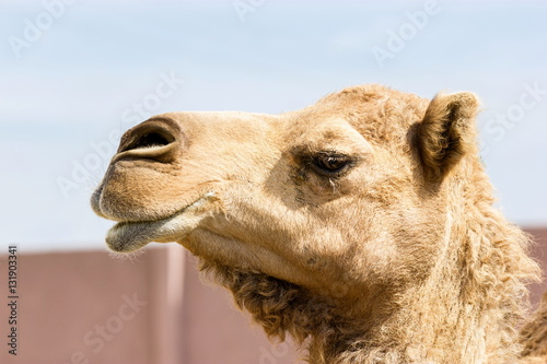 Foto op Canvas Kameel The ancient camel question is: One hump or two? Arabian camels, also known as dromedaries, have only one hump, but they employ it to great effect. The hump stores up to 80 pounds, 36 kilograms of fat