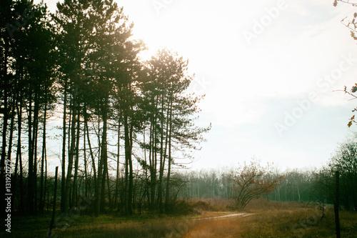 Fototapeta forest in sunset - pine trees silhouette obraz na płótnie