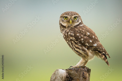 Photo  Little Owl