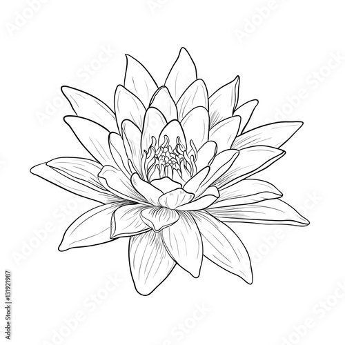 Fototapeta Floral Water Lily. Vector line style